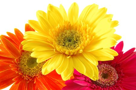 Close up of three colorful gerber daisies in isolated white photo
