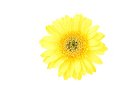 Close up of yellow gerber daisy in isolated white Stock Photo - 592362