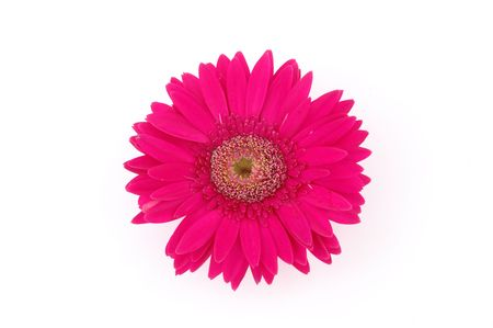 Close up of pink gerber daisy in isolated white Stock Photo - 592363