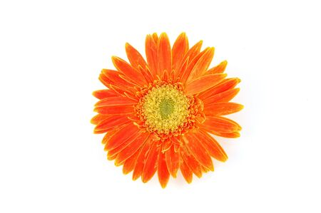 Close up of orange gerber daisy in isolated white Stock Photo - 592364