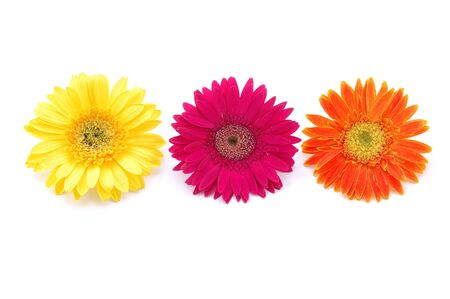 Three colorful gerber daisies in isolated white Stock Photo - 592365