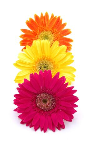 Three colorful gerber daisies in isolated white photo