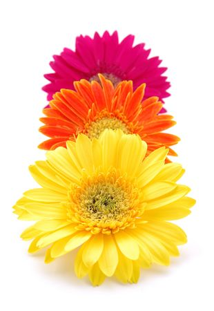 Three colorful gerber daisies in isolated white Stock Photo - 592367