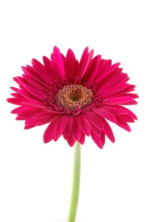 Pink gerber daisy in isolated white photo