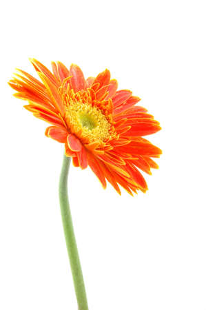 Orange gerber daisy in isolated white Stock Photo - 592369