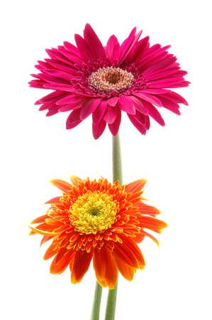 Pink and orange gerber daisies in isolated white photo