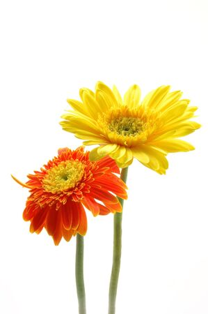 Yellow and orange gerber daisies in isolated white photo