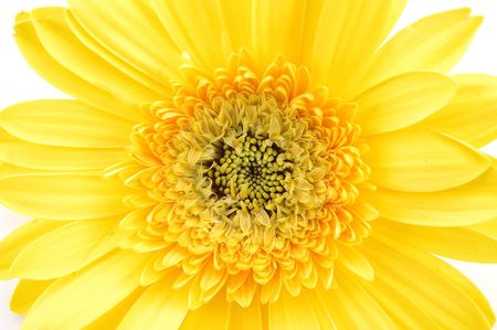 Close up of yellow gerber daisy in isolated white Stock Photo - 592372