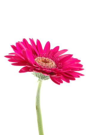 Pink gerber daisy in isolated white Stock Photo - 592425