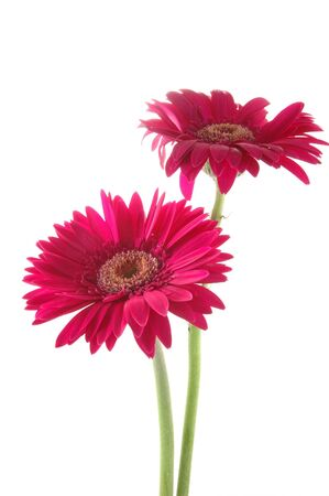 Two pink gerber daisies in isolated white photo