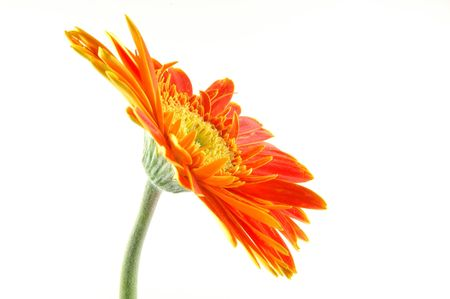 Orange gerber daisy in isolated white Stock Photo - 592460