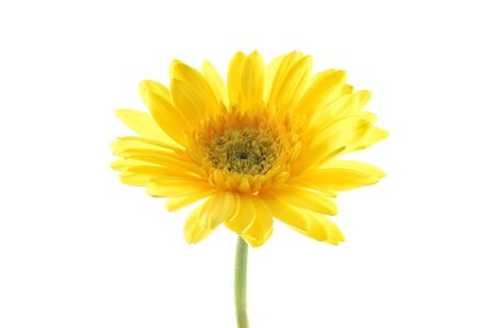 Yellow gerber daisy in isolated white Stock Photo - 592461