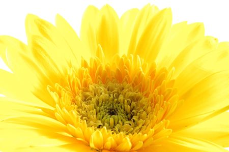 Close up of yellow gerber daisy in isolated white photo