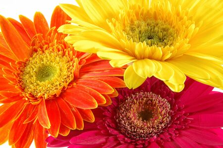Close up of three colorful gerber daisies in isolated white Stock Photo