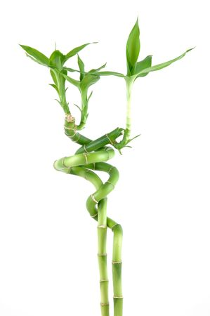 Lucky bamboo in isolated white Stock Photo - 592483