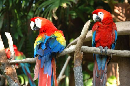 scarlet: Colorful Scarlet Macaw Stock Photo