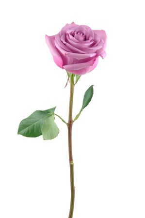 Purple rose in isolated white Stock Photo - 598383
