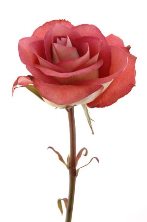 Close up of chocolate red rose in isolated white Stock Photo - 598381