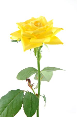 Close up of yellow rose in isolated white