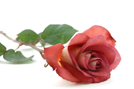 Close up of chocolate red rose in isolated white