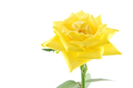 Close up of yellow rose in isolated white, with copyspace Stock Photo