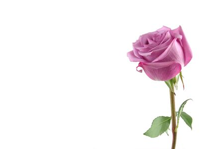 Purple rose in isolated white, with copy space