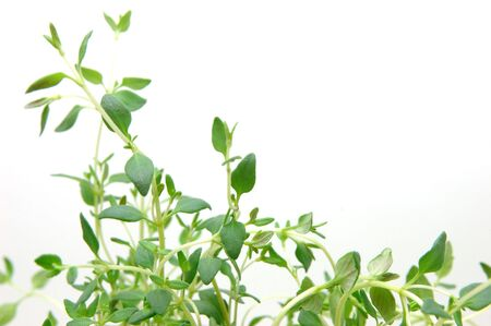 Close up of thyme in isolated white background