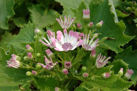 senecio: Close up of pink-white senecio cineraria