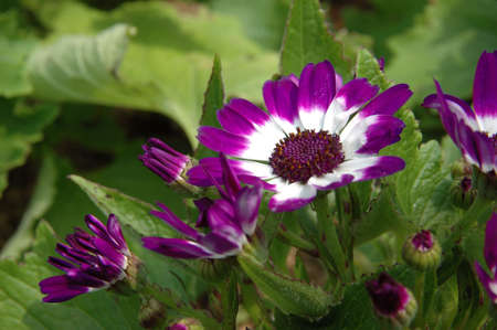 senecio: Close up of purple-white senecio cineraria