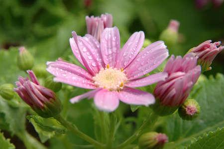 senecio: Close up of pink-white senecio cineraria, with water drops