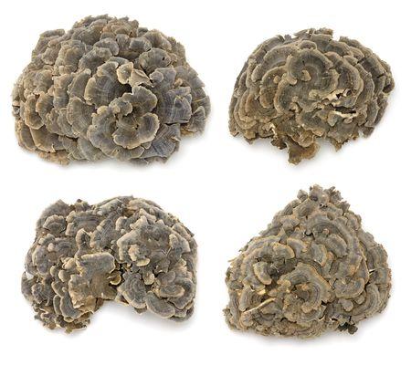 versicolor: Coriolus versicolor (a mushroom used in traditional Asian herbal remedies)