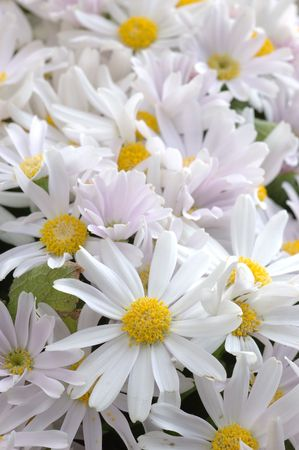 senecio: Close up of pink-white senecio cineraria