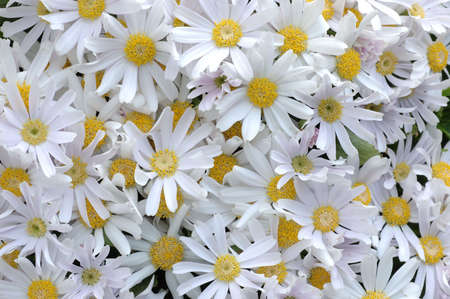 senecio: Close up of pink-white senecio cineraria background