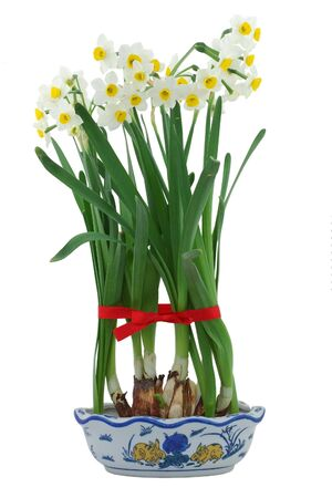 White daffodils in vase, decor with red ribbon in isolated white background