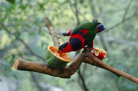 blue parrot: Black-capped lory was being feed by a papaya