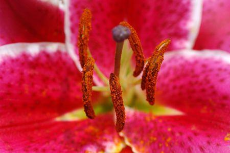 pistils: Close up of pink tiger lily pistils