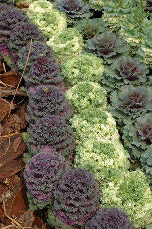 Variety kind of ornamental cabbages in rows photo