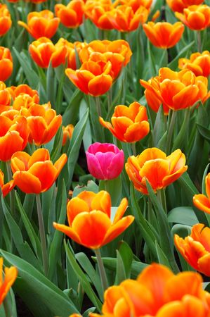 standout: Pink tulip standout in the group of orange tulips