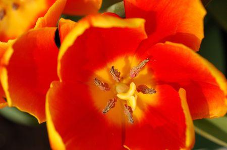 pistil: Close up of an orange tulip pistil Stock Photo