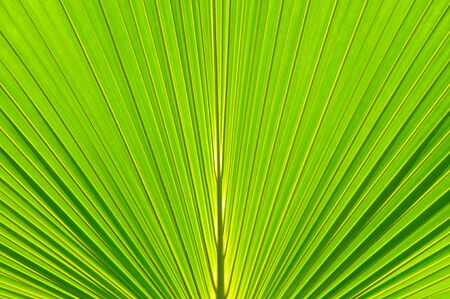 Texture background of palm leaf with backlighting photo