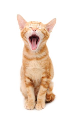 Yelling orange tabby kitten isolated on white background