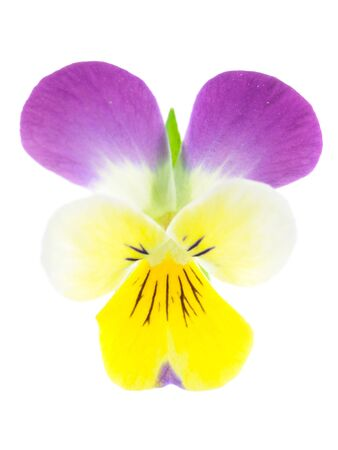 Close up of purple-yellow pansy is isolated white background photo
