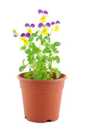 Purple-yellow pansy in pot, isolated on white photo