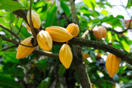 Cocoa pods on tree Stock Photo
