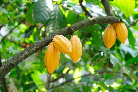 cocoa fruit: Cocoa pods on tree Stock Photo