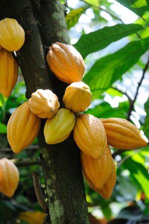 Cocoa pods on tree Stock Photo