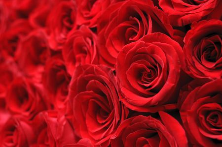 Close up of beautiful red rose Stock Photo - 4836022