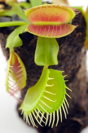 Venus Flytrap closeup over white background photo