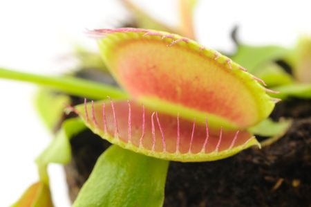 Venus Flytrap closeup over white background
