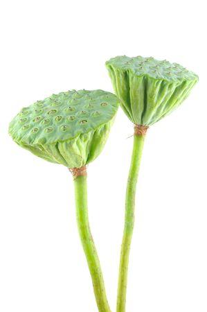 flor de loto: Vainas de semillas de Lotus en el fondo blanco aisladas